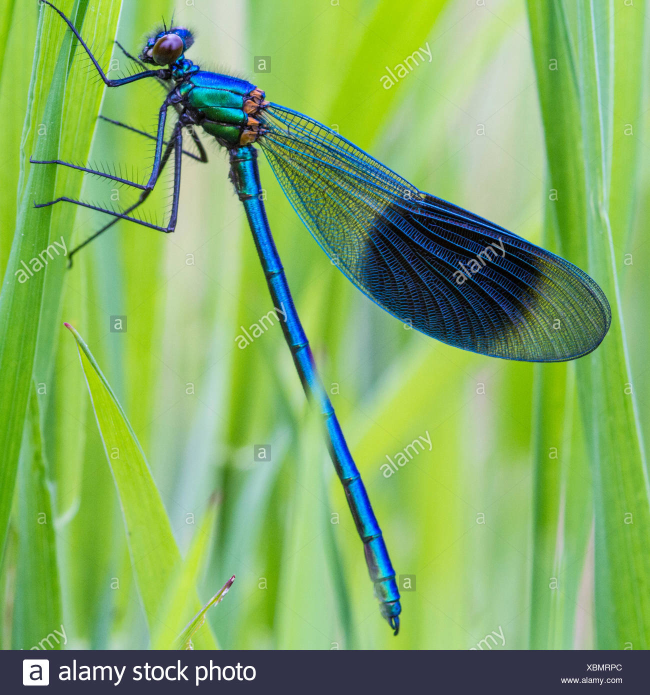 Close-up of dragonfly on blade of grass - Stock Image