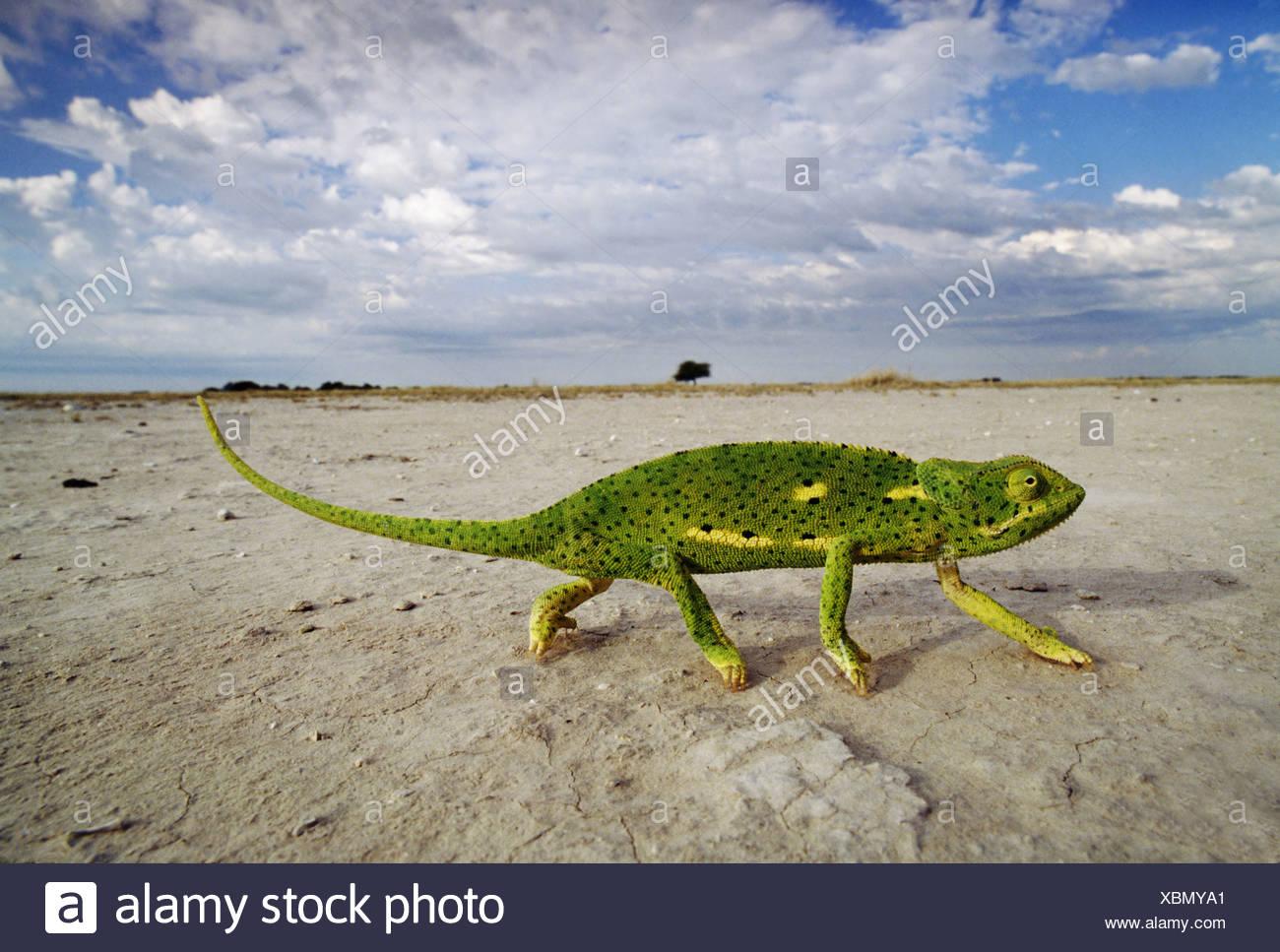 Flap-necked chameleon crossing salt pans Chamaeleo dilepis Makgadikgadi Pans Botswana Makgadikgadi Pans Botswana - Stock Image