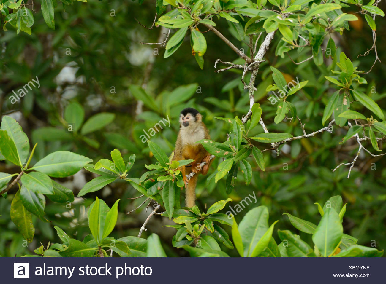 Pacific, mangrove, forest, Corcovado, National Park, Osa Peninsula, Costa Rica, Central America, monkey, wildlife, animal, Punta - Stock Image
