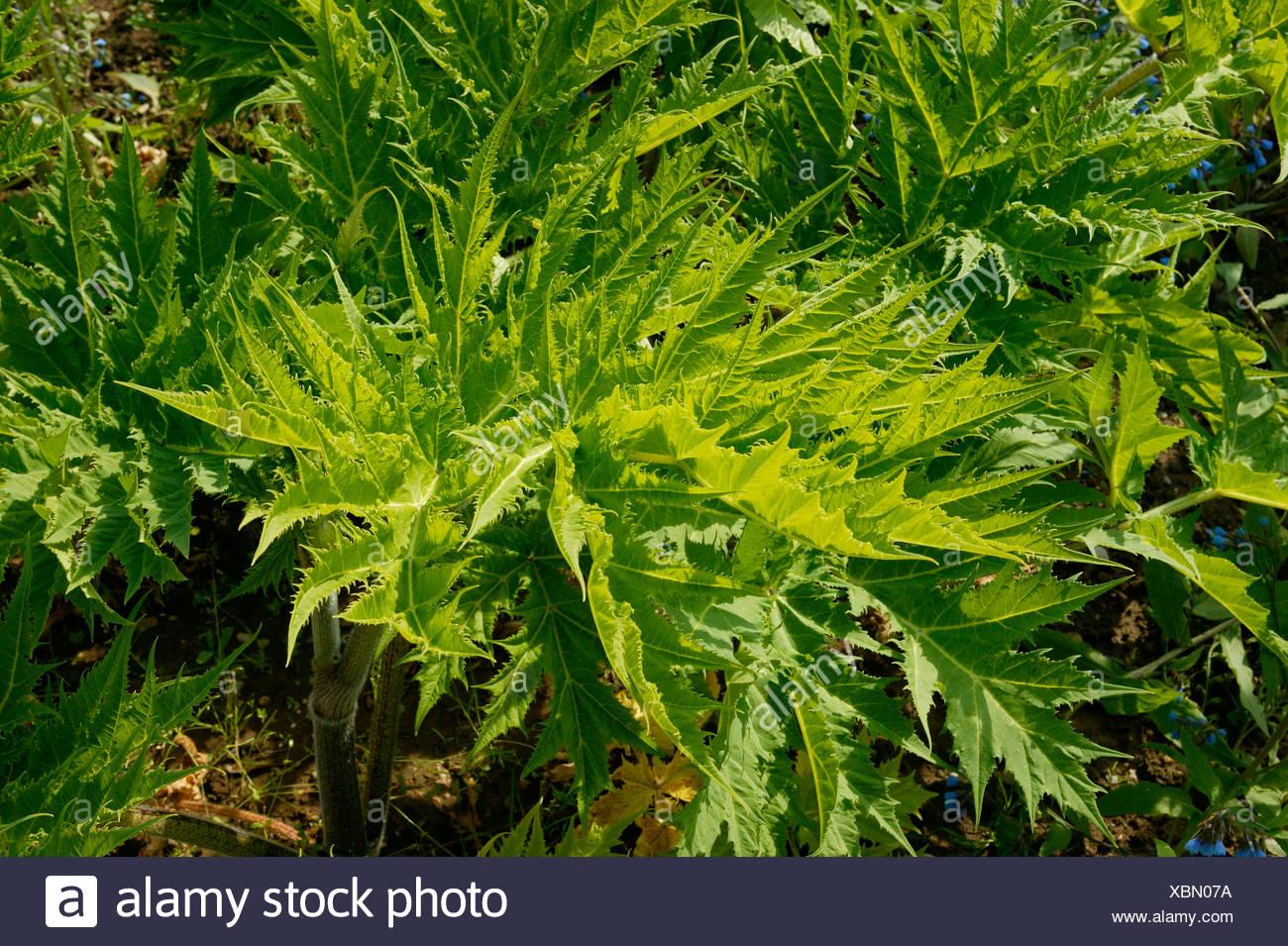 Giant hogweed (Heracleum mantegazzianum) Stock Photo
