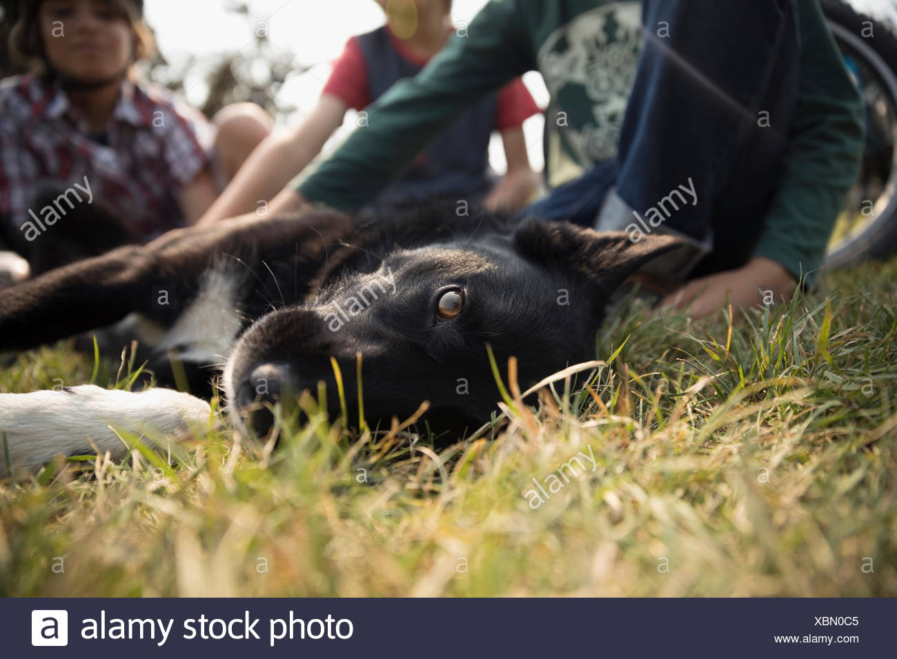 Portrait black and white dog laying in grass - Stock Image