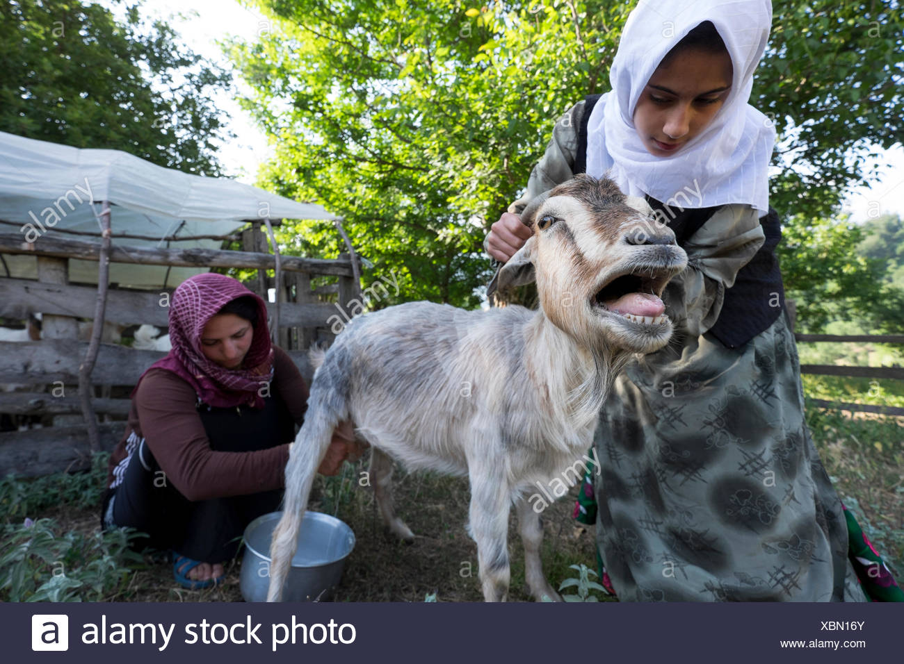 Two young women milk a bleating goat in the farmyard of their family home. - Stock Image