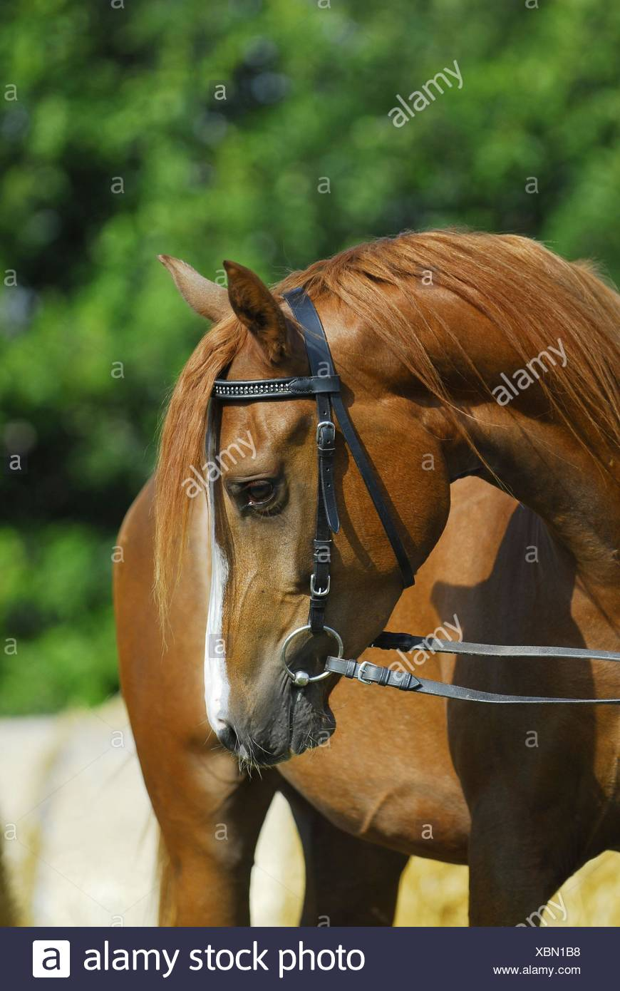 arabian horse portrait - Stock Image