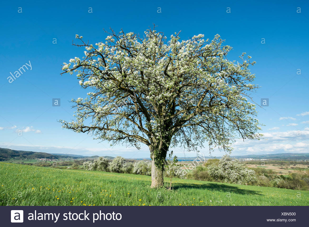 Old fruit tree in blossom on a meadow, Baden-Württemberg, Germany - Stock Image