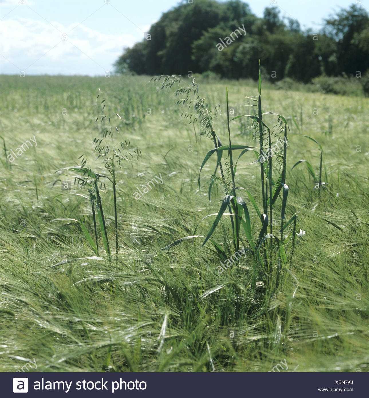 Wild oats Avena fatua flowering panicles in barley crop in ear Stock Photo