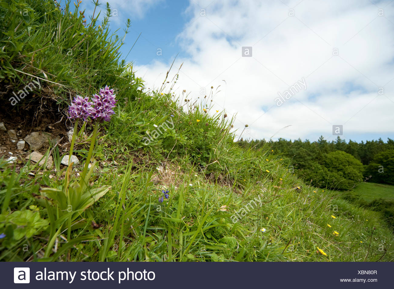 Monkey Orchid, Orchis simia, Park Gate Downs, Kent Wildlife Trust, UK - Stock Image