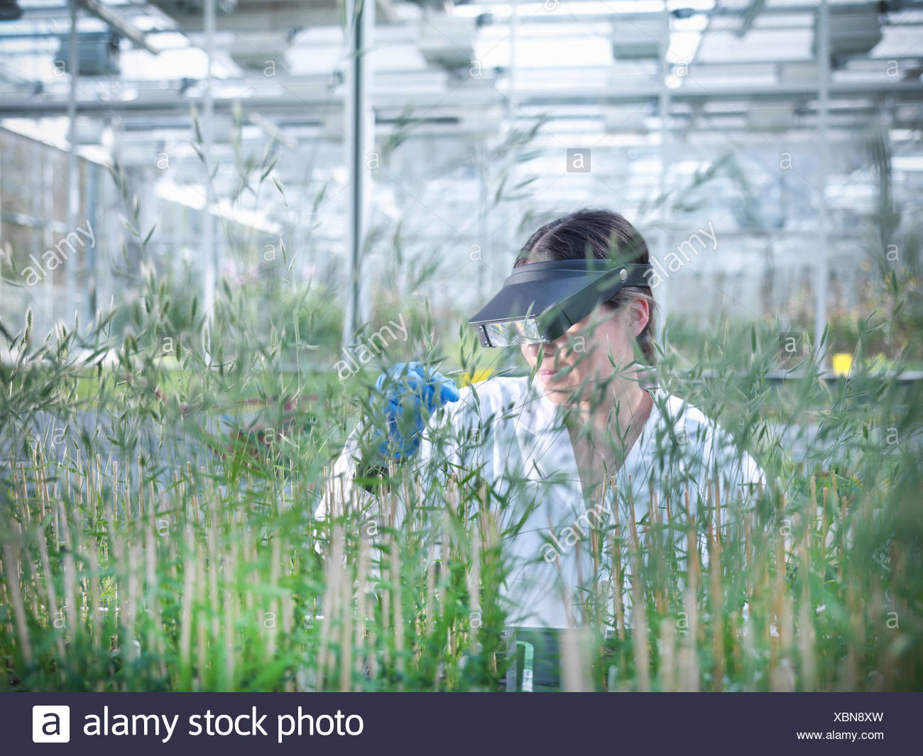 Scientist examining plants in greenhouse - Stock Image