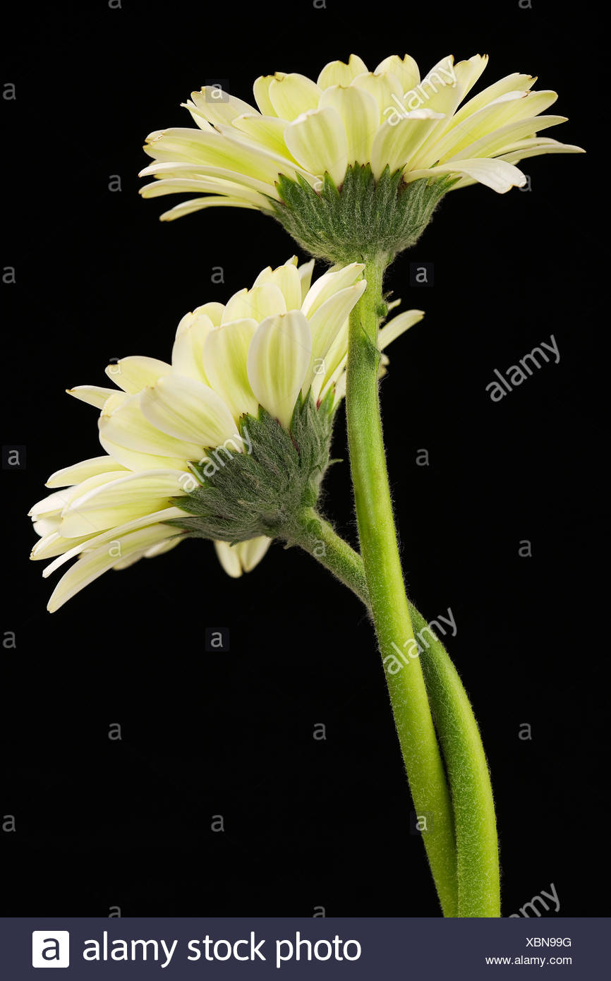 Arrange Arrangements Beauty Bloom Blooms Blossom Blossoms Colour Colourful Concept Flower Flowers Gerbera Still life Two Yellow - Stock Image