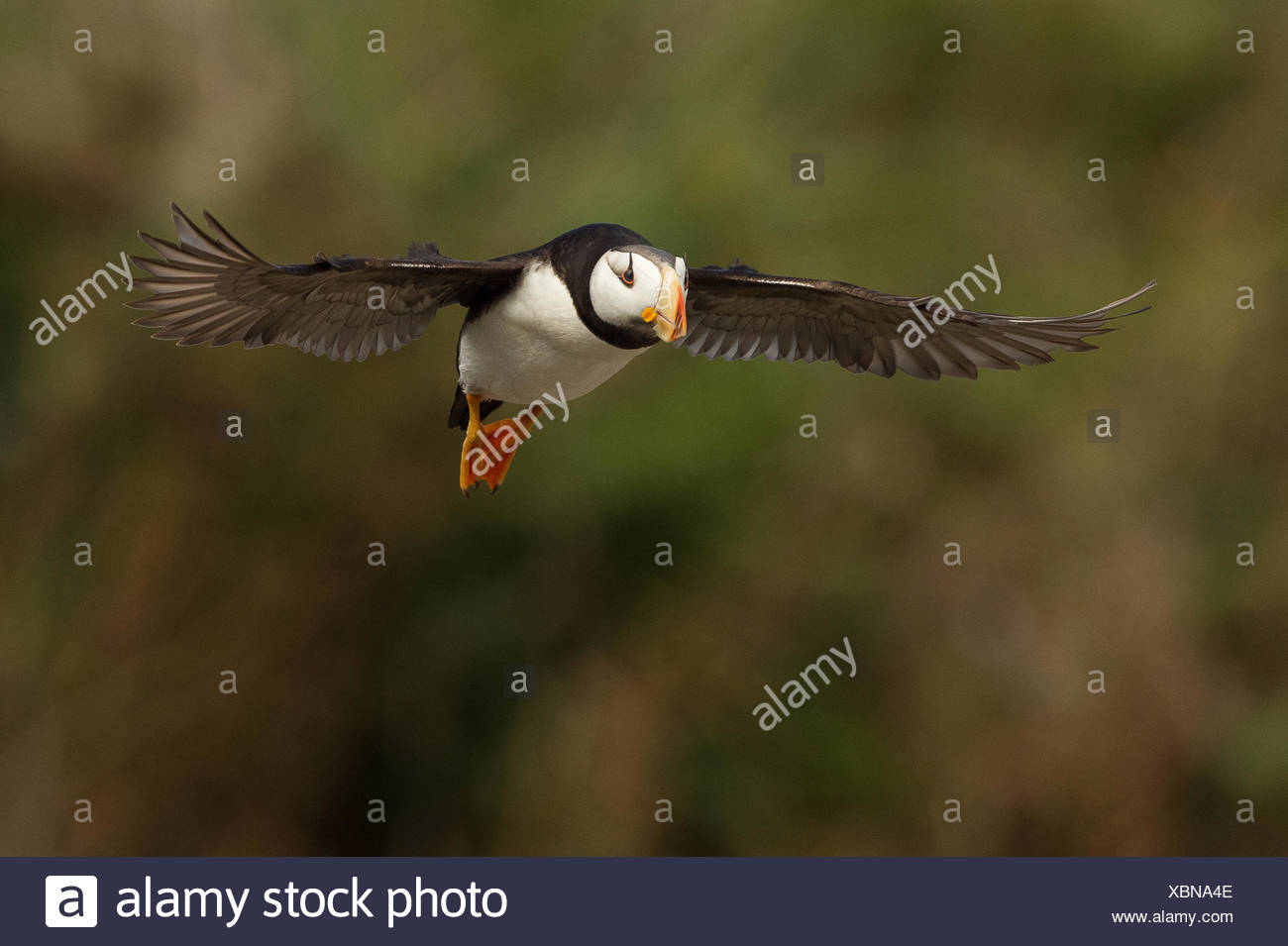 Puffin in flight above Lake Clark National Park. - Stock Image