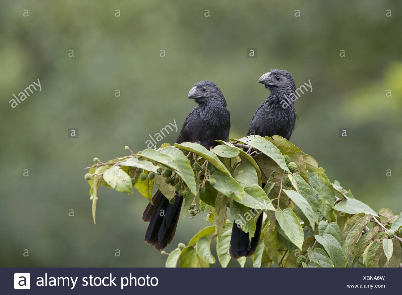 Groove-billed Ani (Crotophaga sulcirostris) adult pair, perched on branch, Cayo District, Belize - Stock Image