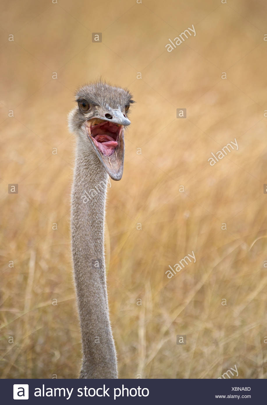 Common Ostrich Struthio camelus female at nest on Masai Mara Kenya - Stock Image