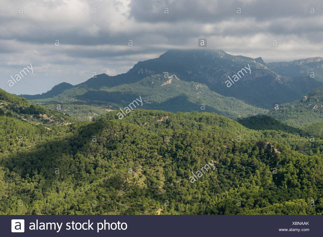 Pinar de Canet, Pinus halepensis, Esporles, Fita del Ram desde el Puig des Boixos, sierra de Tramuntana, Mallorca, Balearic Islands, Spain - Stock Image