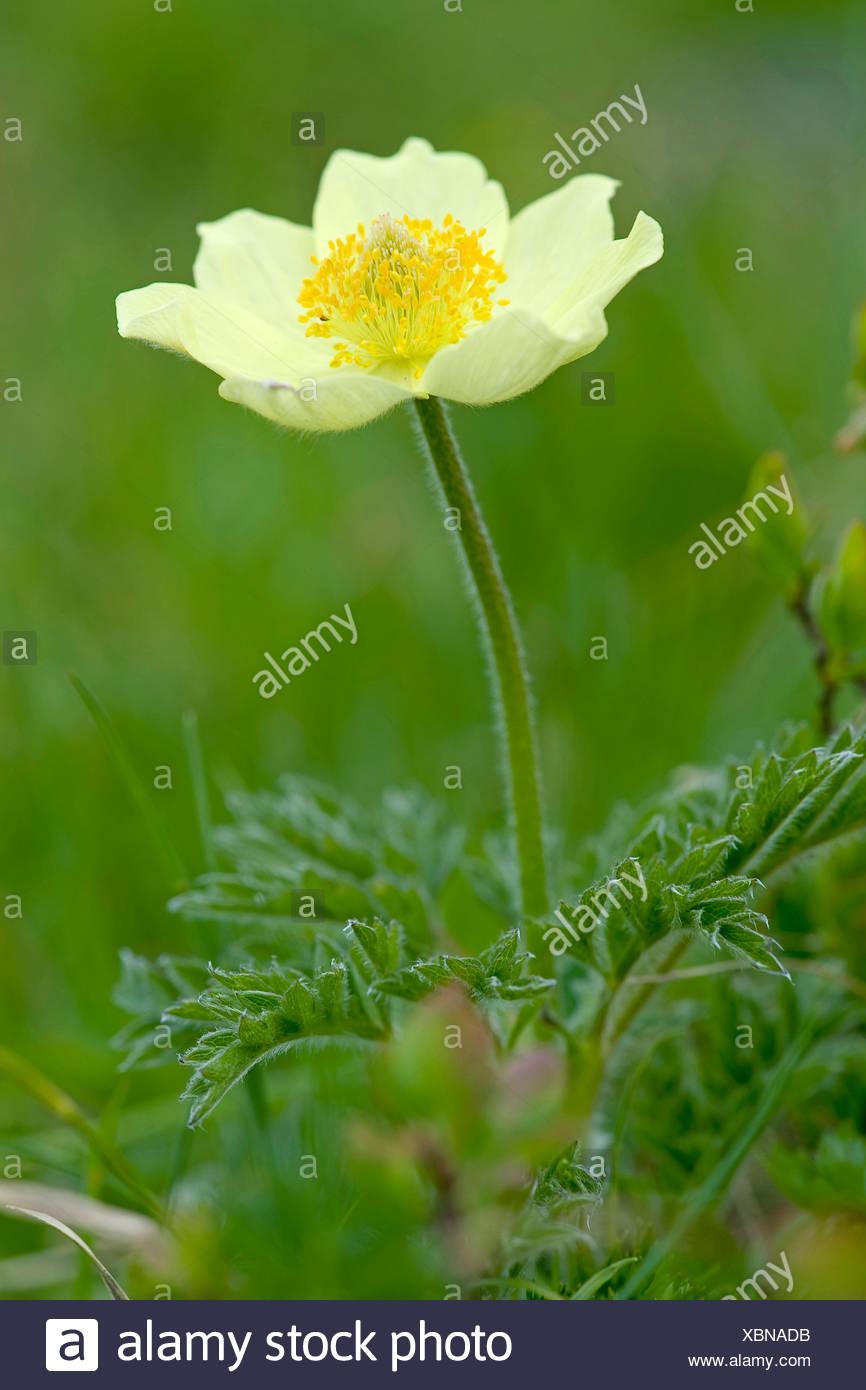 Alpine anemone (Pulsatilla alpina ssp. apiifolia, Pulsatilla apiifolia), flower, Switzerland - Stock Image