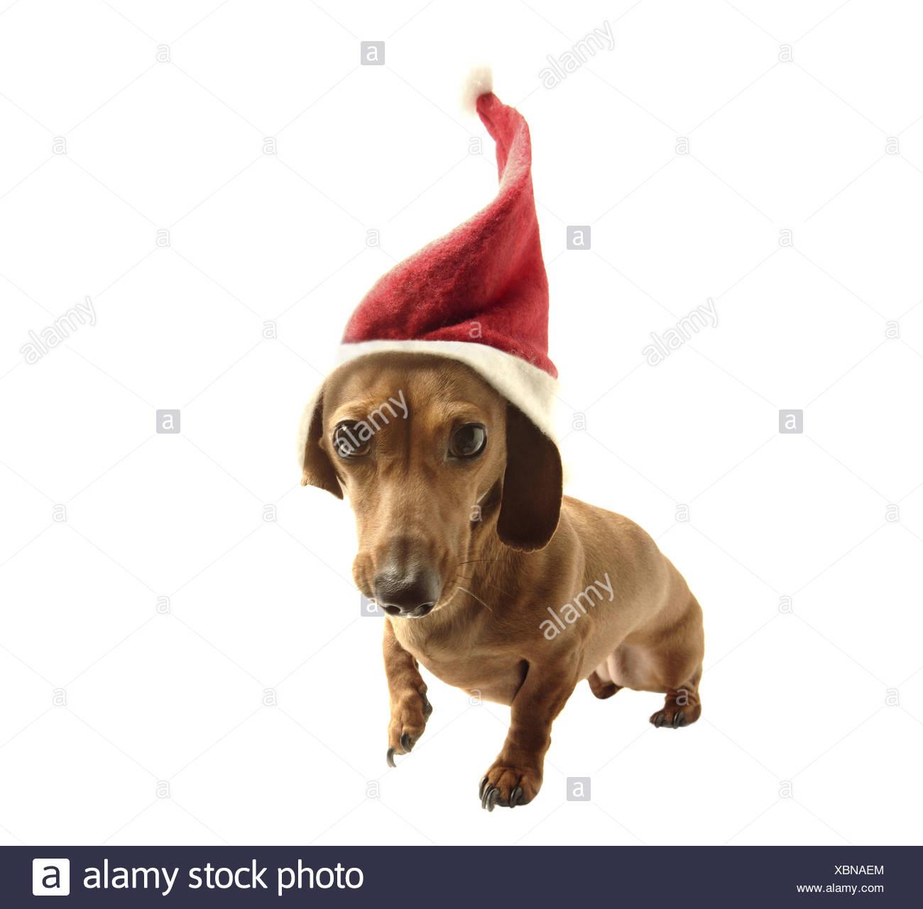 Dachshund in Santa hat - Stock Image