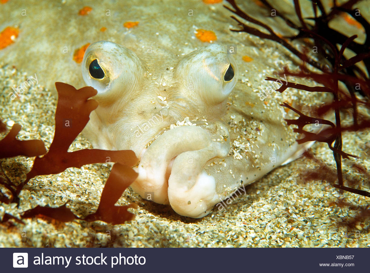 Wildlife. Fishes. Plaice lying on seabed. Close up of head. - Stock Image