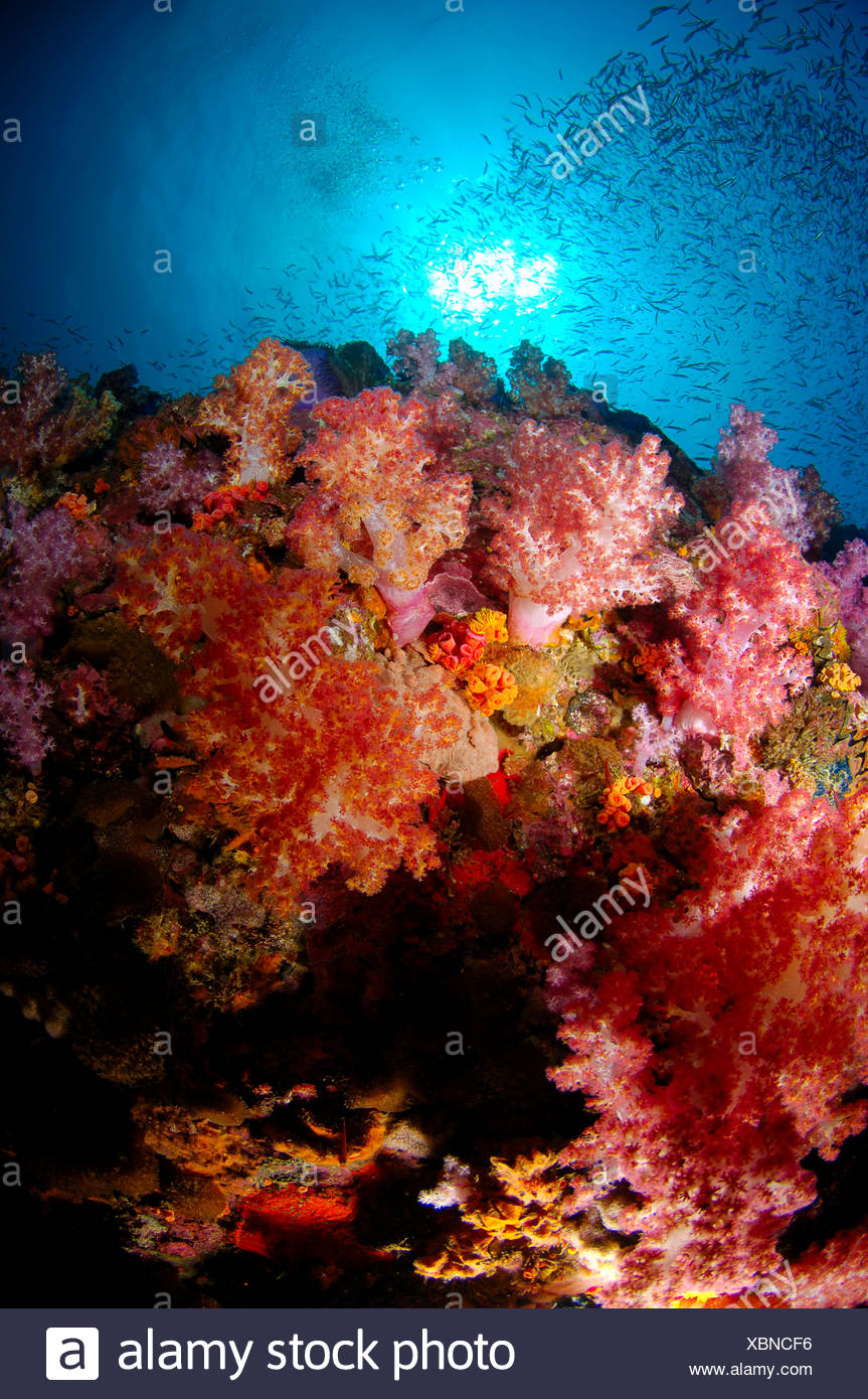 Softcoral Reef Scene Richelieu Rock Andaman Sea Thailand - Stock Image