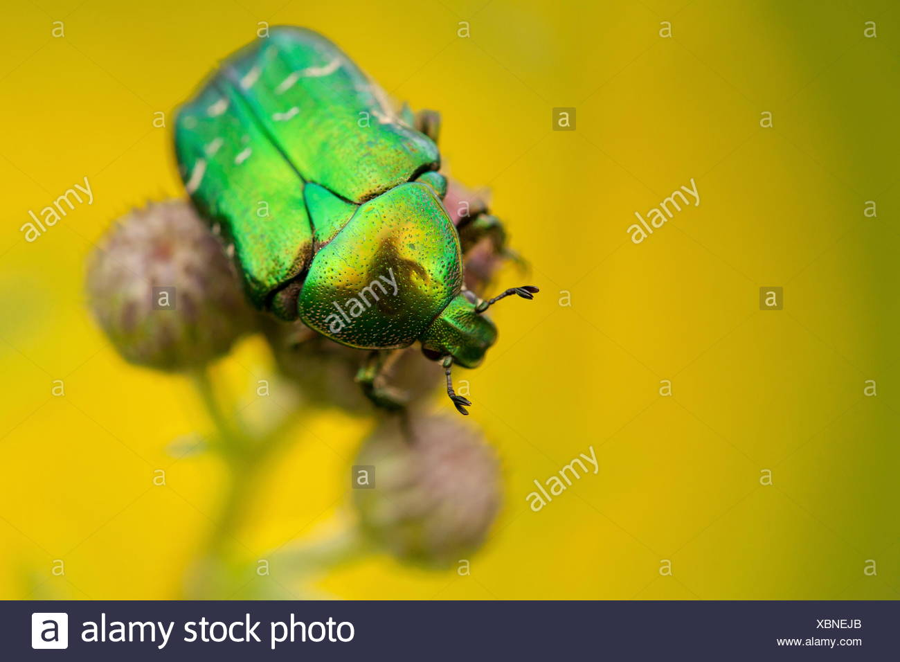 green rose chafer, Rhoen Mountains, Germany / (Cetonia aurata) - Stock Image