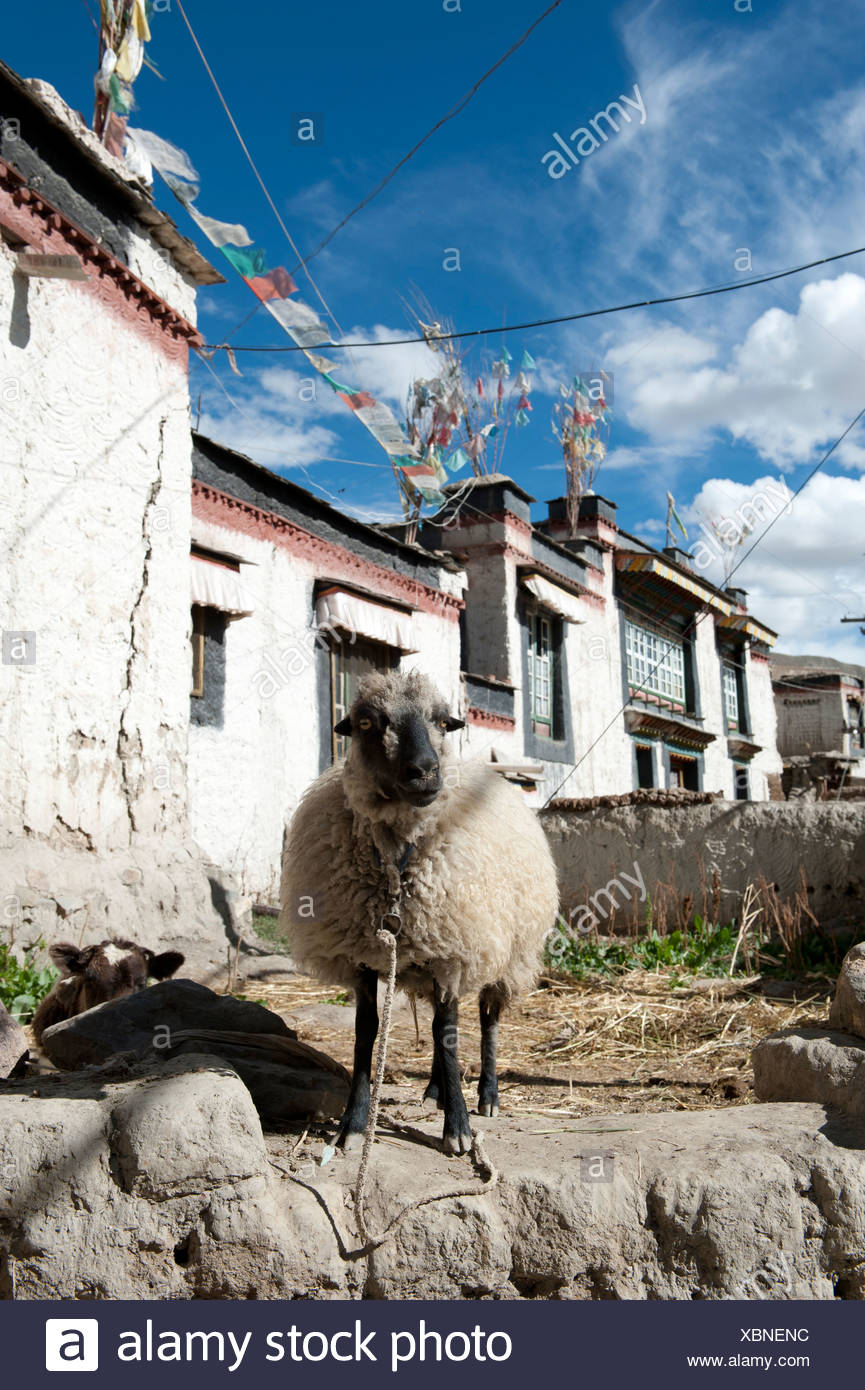 Domestic sheep (Ovis orientalis aries) standing in the historic district, houses with flat roofs, Gyantse, Himalaya Range - Stock Image