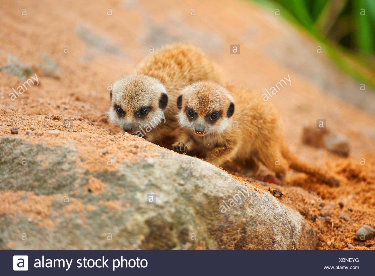 suricate, slender-tailed meerkat (Suricata suricatta), two youngsters - Stock Image