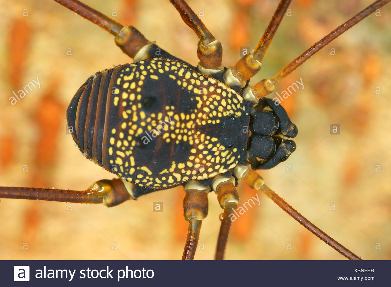 Weberknecht, Paecilaema chiriquiense (Paecilaema chiriquiense), Koerper, Costa Rica | harvestman (Paecilaema chiriquiense), body - Stock Image
