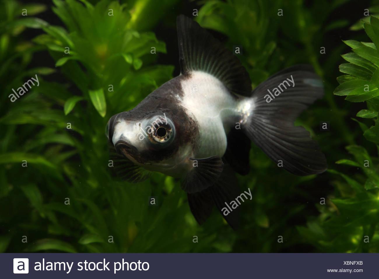 Panda Butterfly Goldfish Stock Photo Alamy