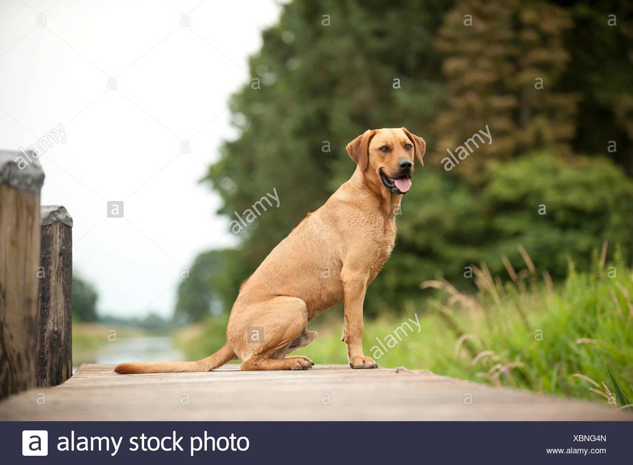 Rhodesian Ridgeback mixed breed dog lying on a dock - Stock Image
