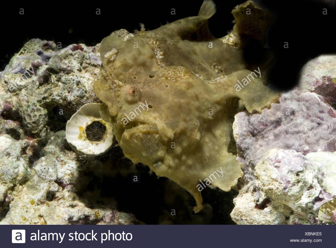 warty frogfish, antennarius maculatus - Stock Image