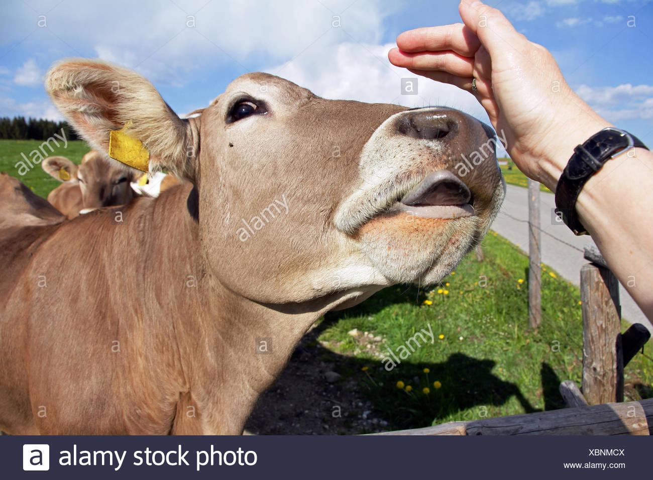 Woman lick cow-2899