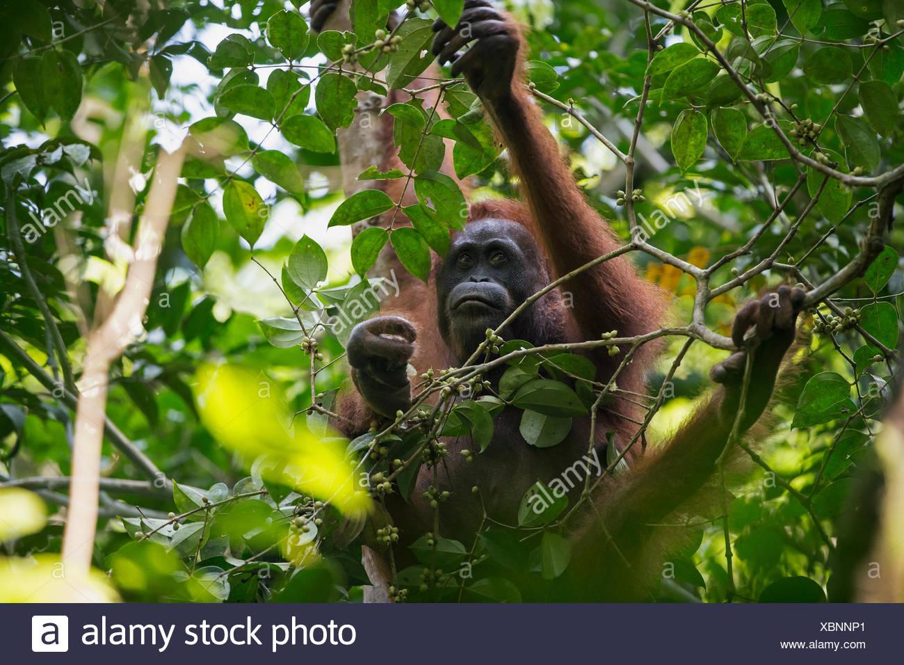A Bornean orangutan, Pongo pygmaeus wurmbii, tends to her severely injured foot. - Stock Image