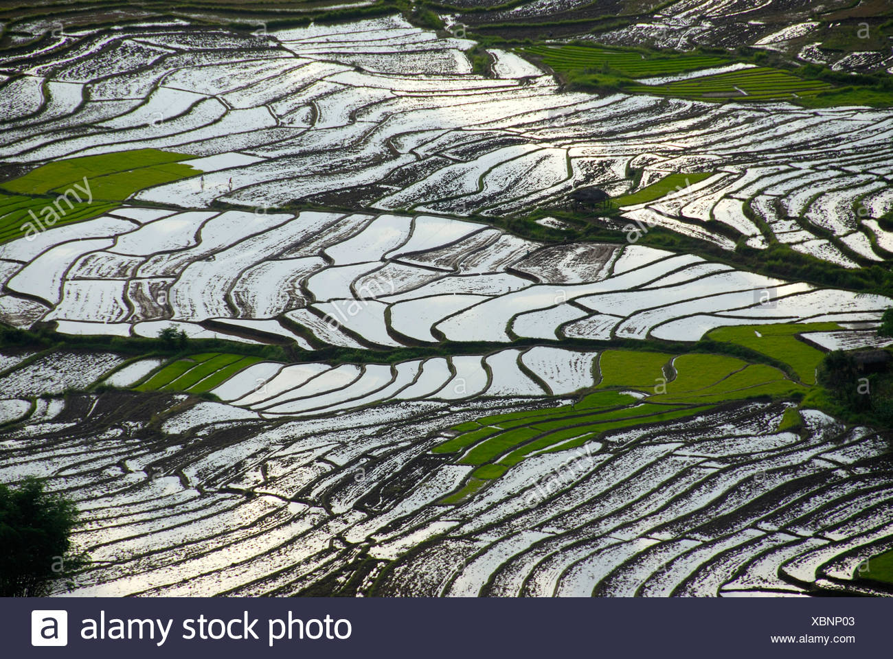 Rice, rice cultivation, rice terraces on a slope filled with water at Ou Tai, Gnot Ou district, Yot Ou, Phongsali, Phongsali Pr - Stock Image