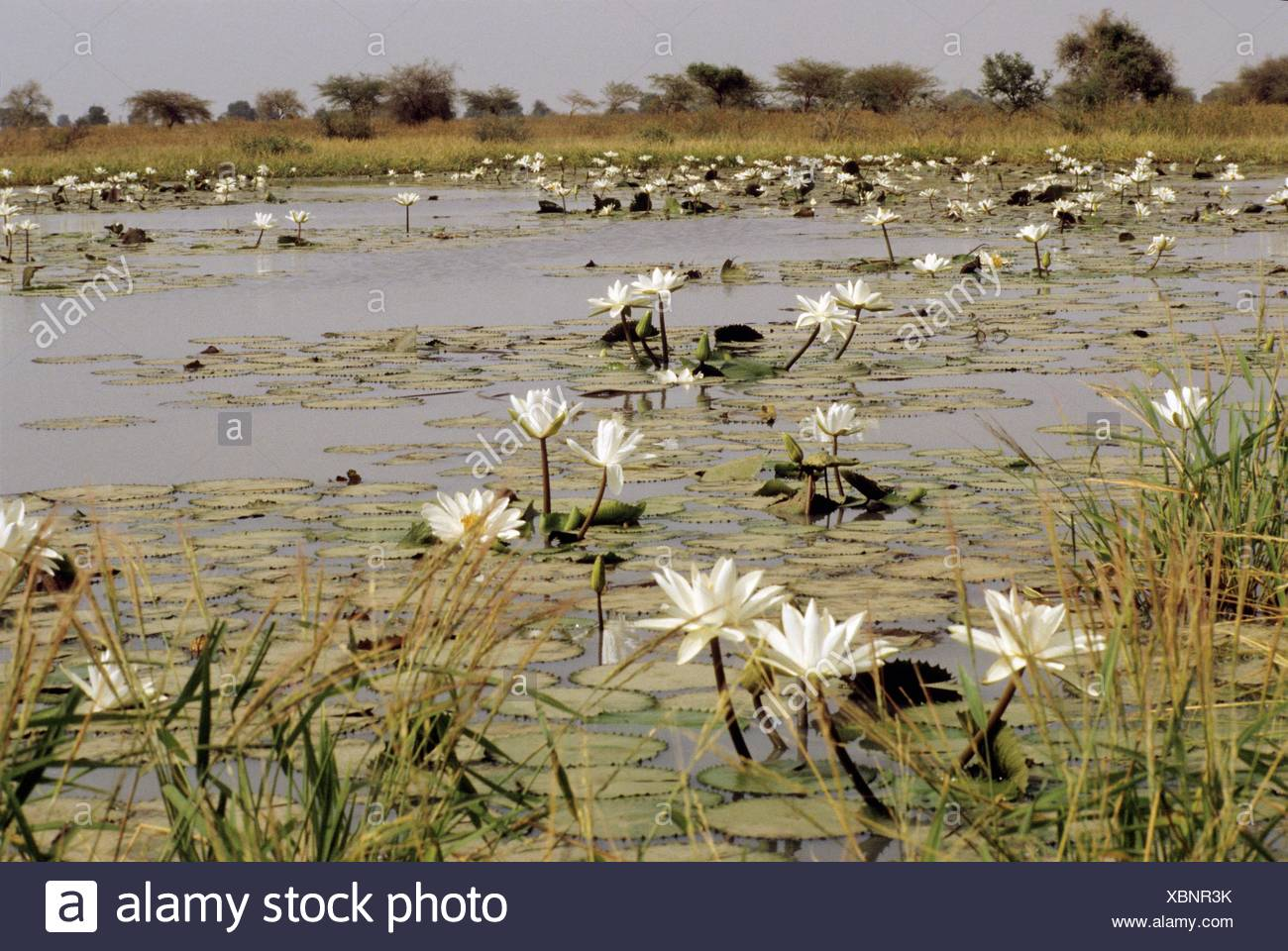 Water lilies on the lake Tchad, N´djamena, Chad, Central Africa - Stock Image