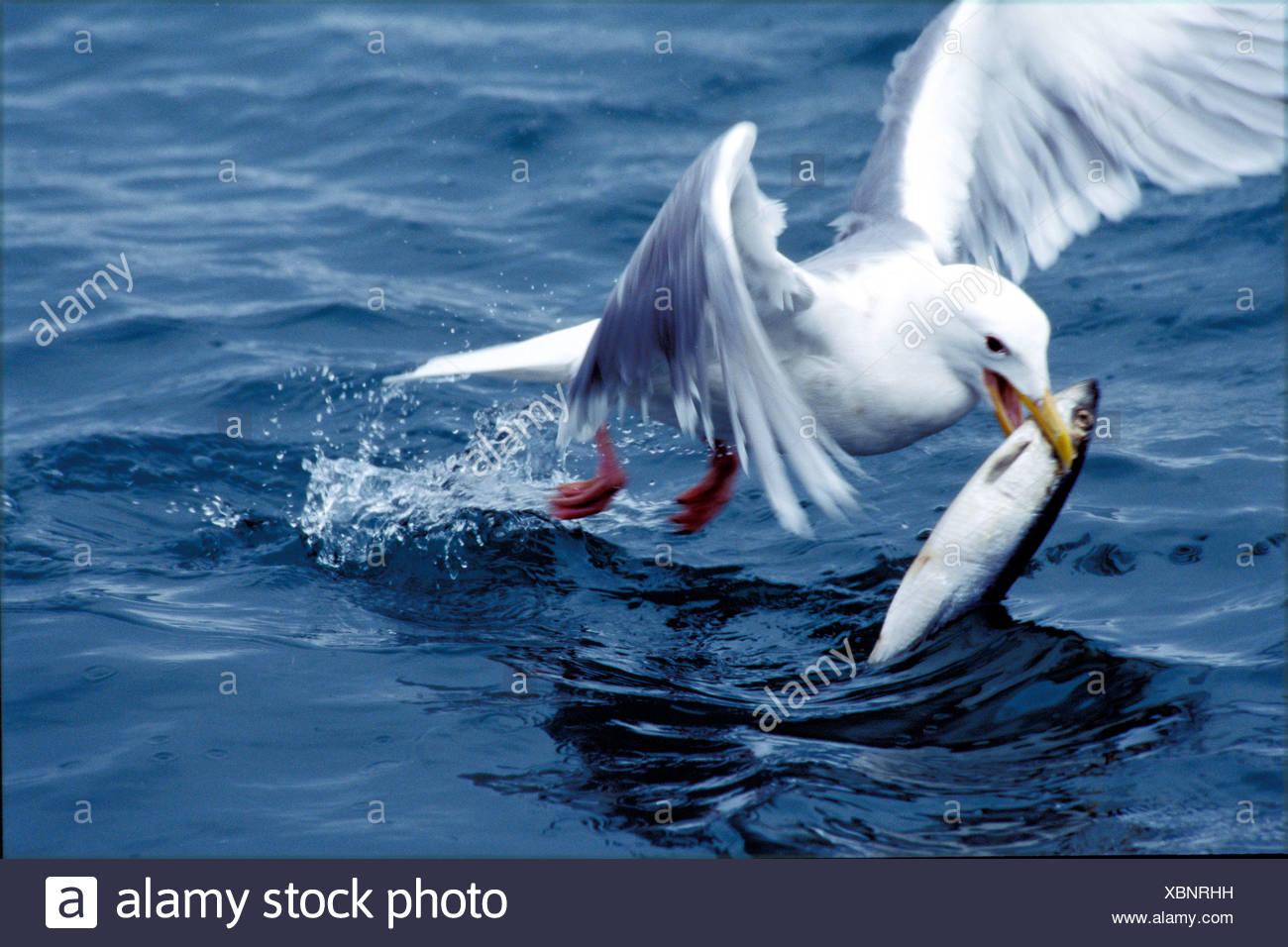 Action Alaska America Animal Animals Bird Birds Catch Fish Homer Prey Preys  Sea Seagull United States Stock Photo - Alamy