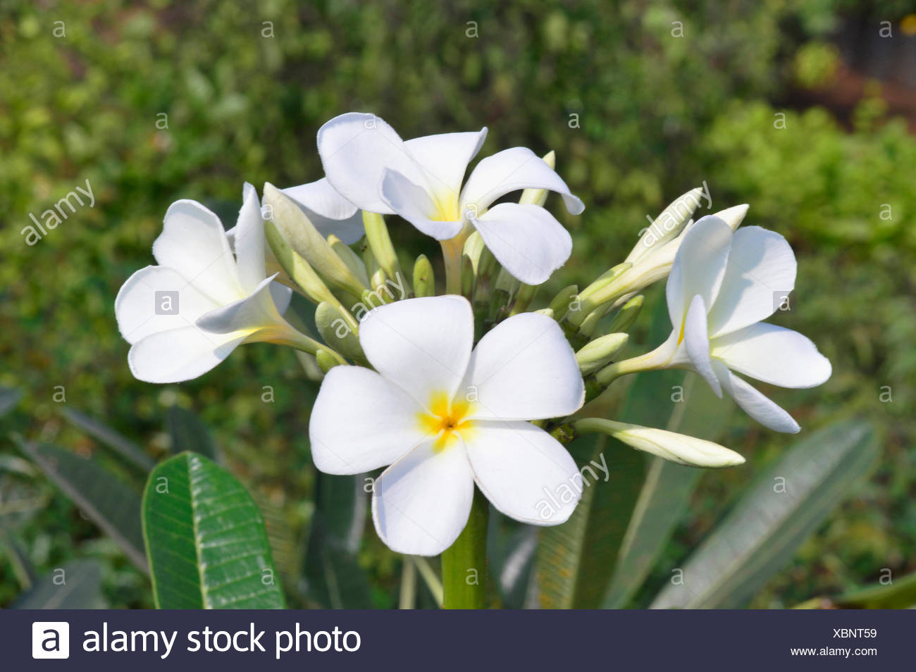 Yellow Oleander Stock Photos Yellow Oleander Stock Images Alamy