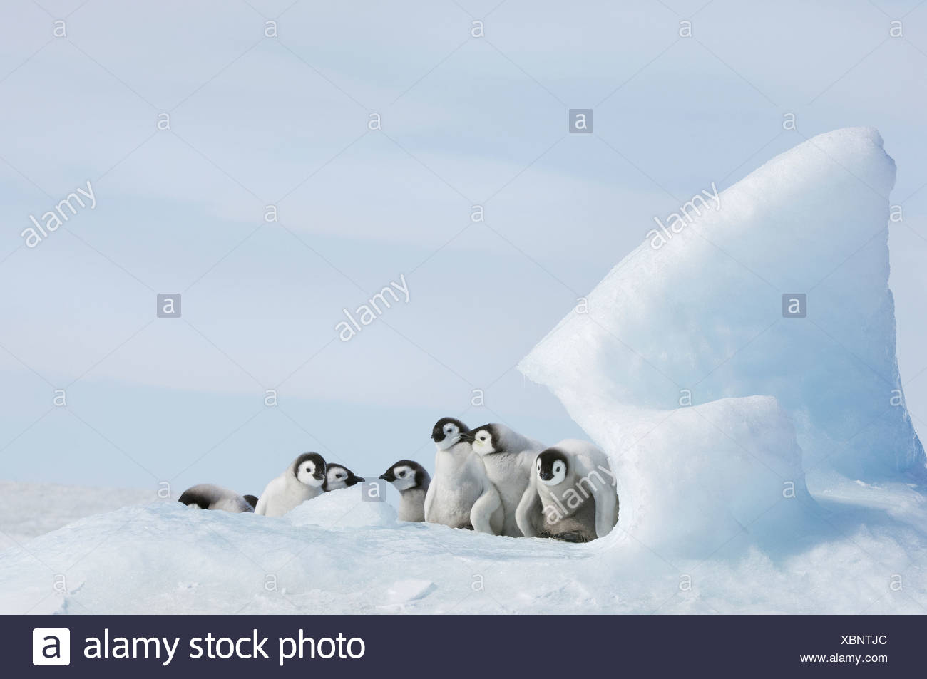 A nursery group of young penguin chicks with thick grey fluffy coats grouped beneath a pinnacle of ice - Stock Image