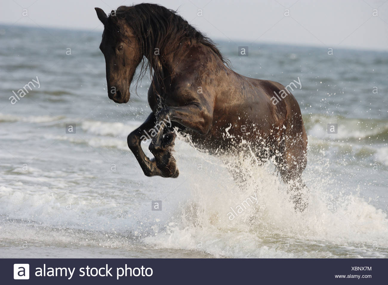Friesian Horse Jumping In Water Stock Photo Alamy