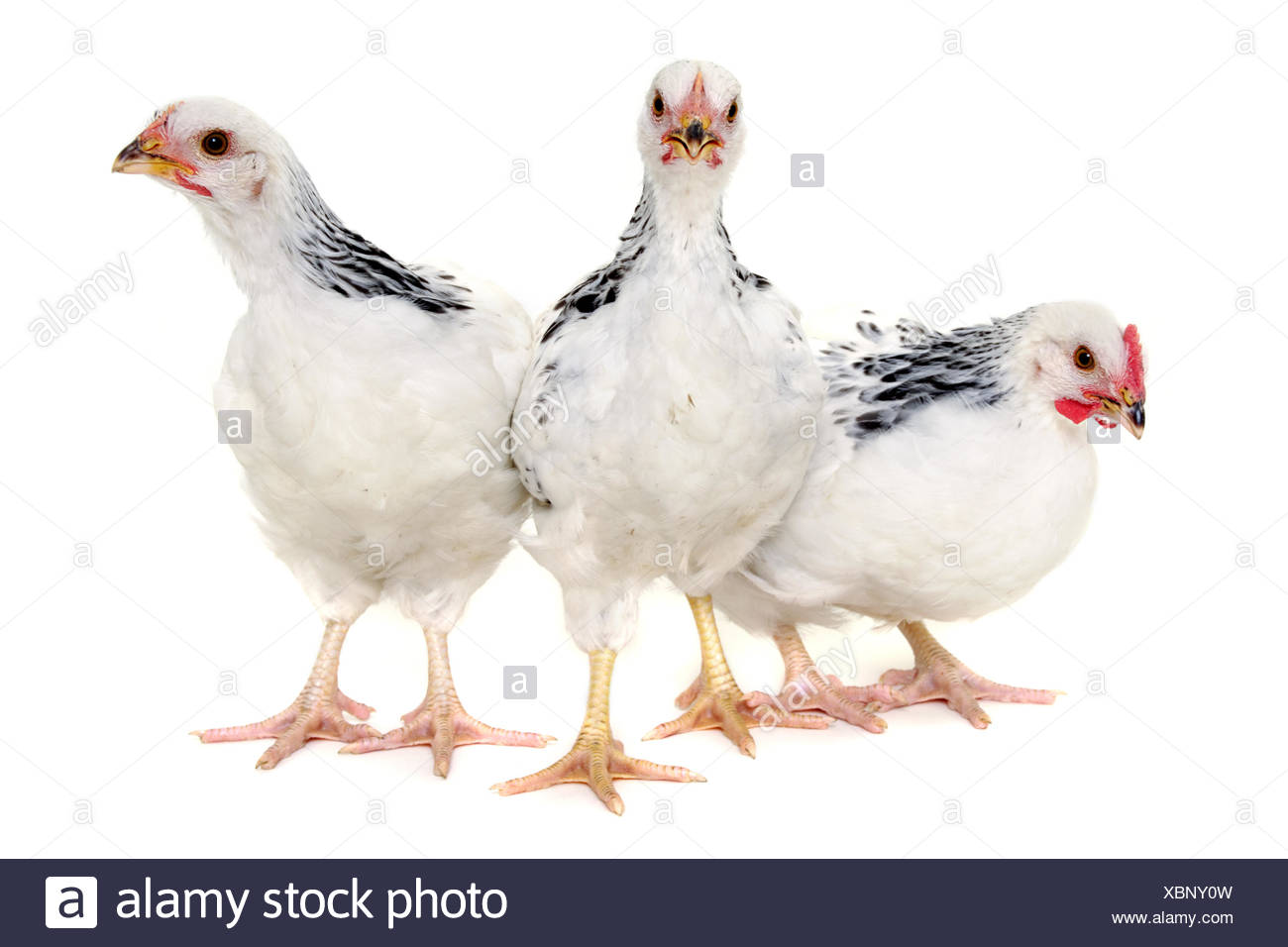 Group of chickens - Stock Image