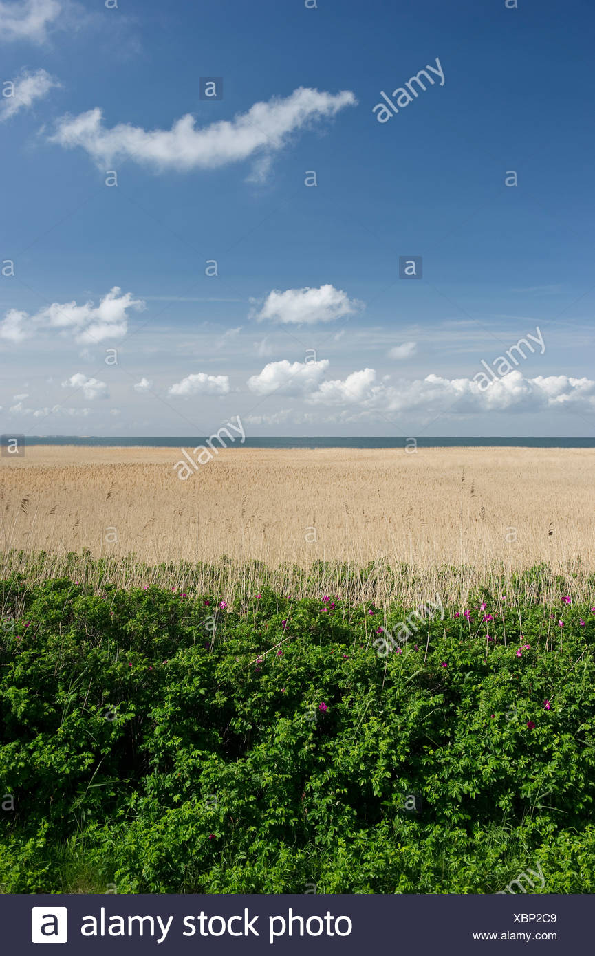Reed field near Kampen, Sylt, Schleswig-Holstein - Stock Image