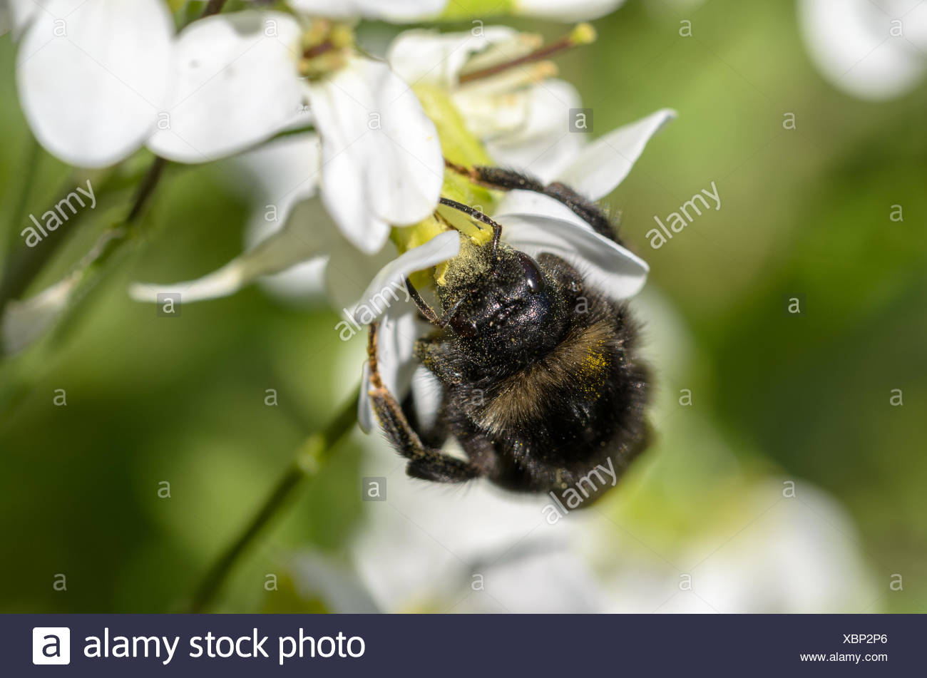 Bumblebee searches nectar - Stock Image