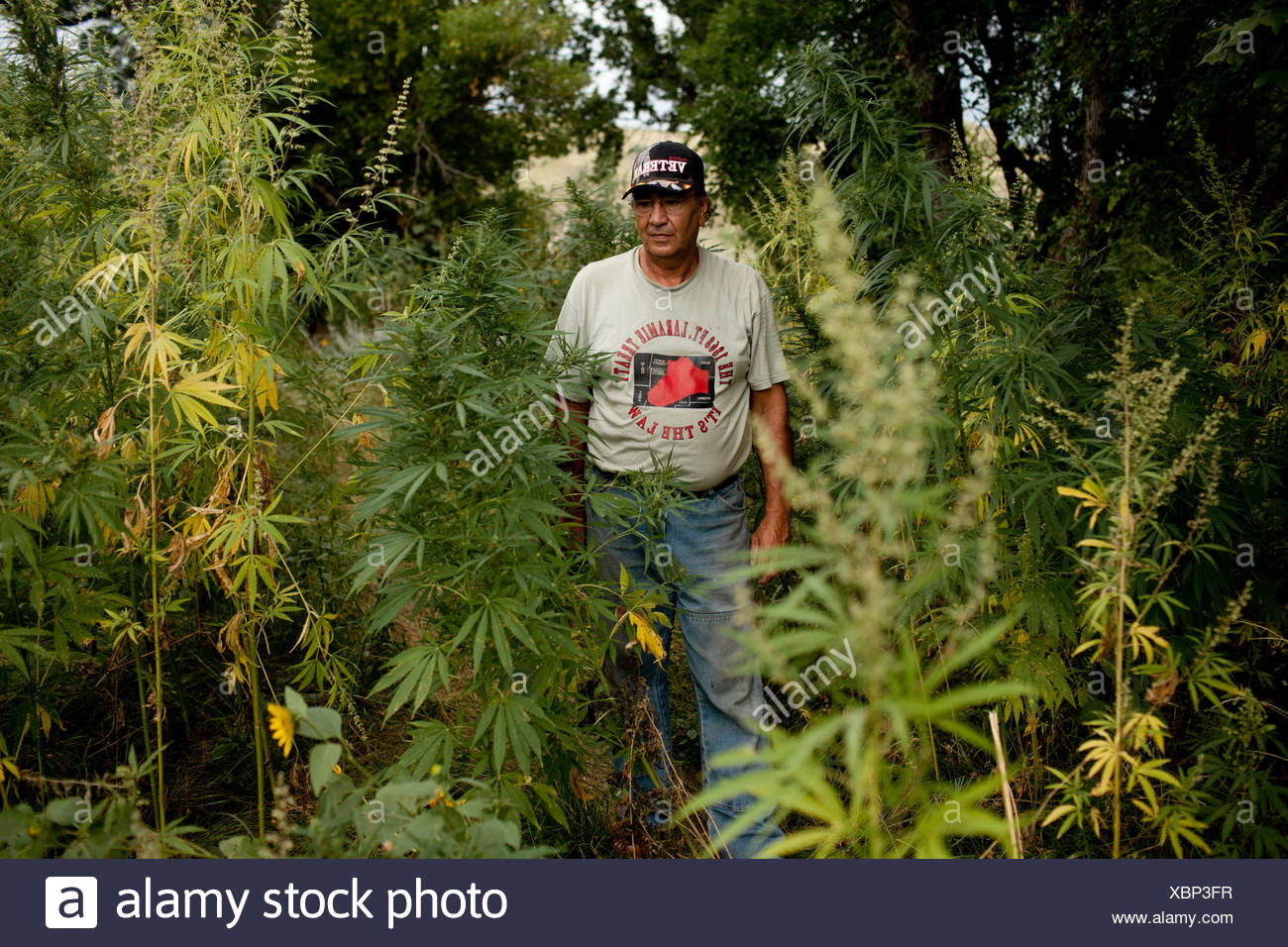 A man stands amid the wild remains of his low-tetrahydrocannabinol hemp crop. Stock Photo