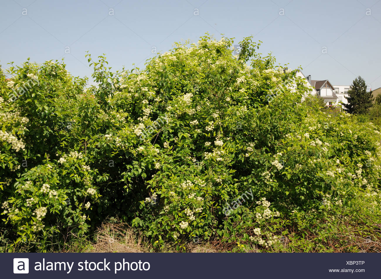 Clematis vitalba Stock Photo