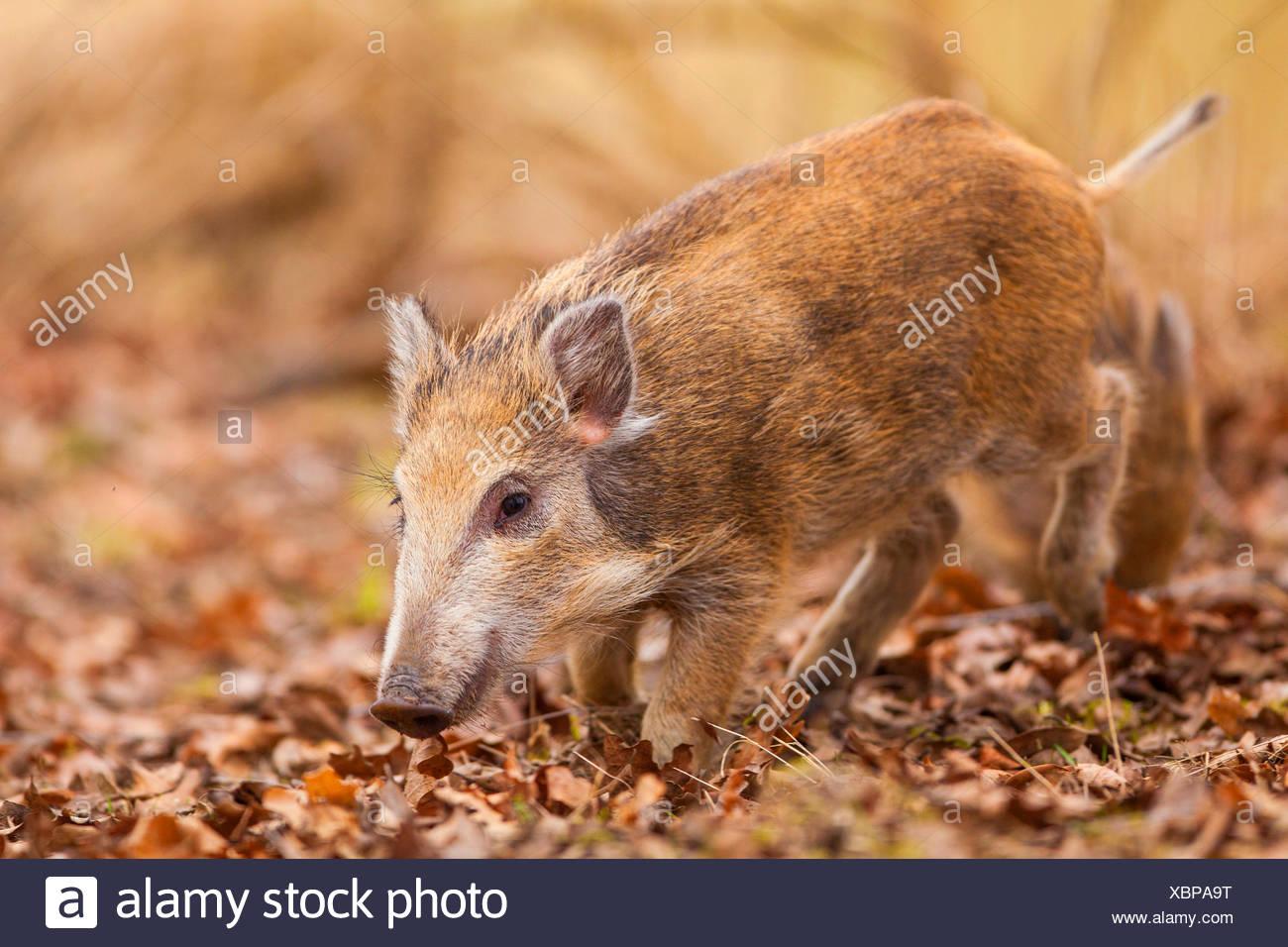 wild boar, pig, wild boar (Sus scrofa), runt, Germany, Rhineland-Palatinate - Stock Image