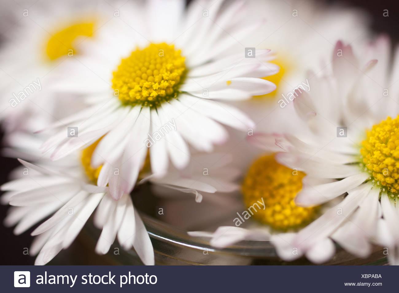 Daisies, close up - Stock Image