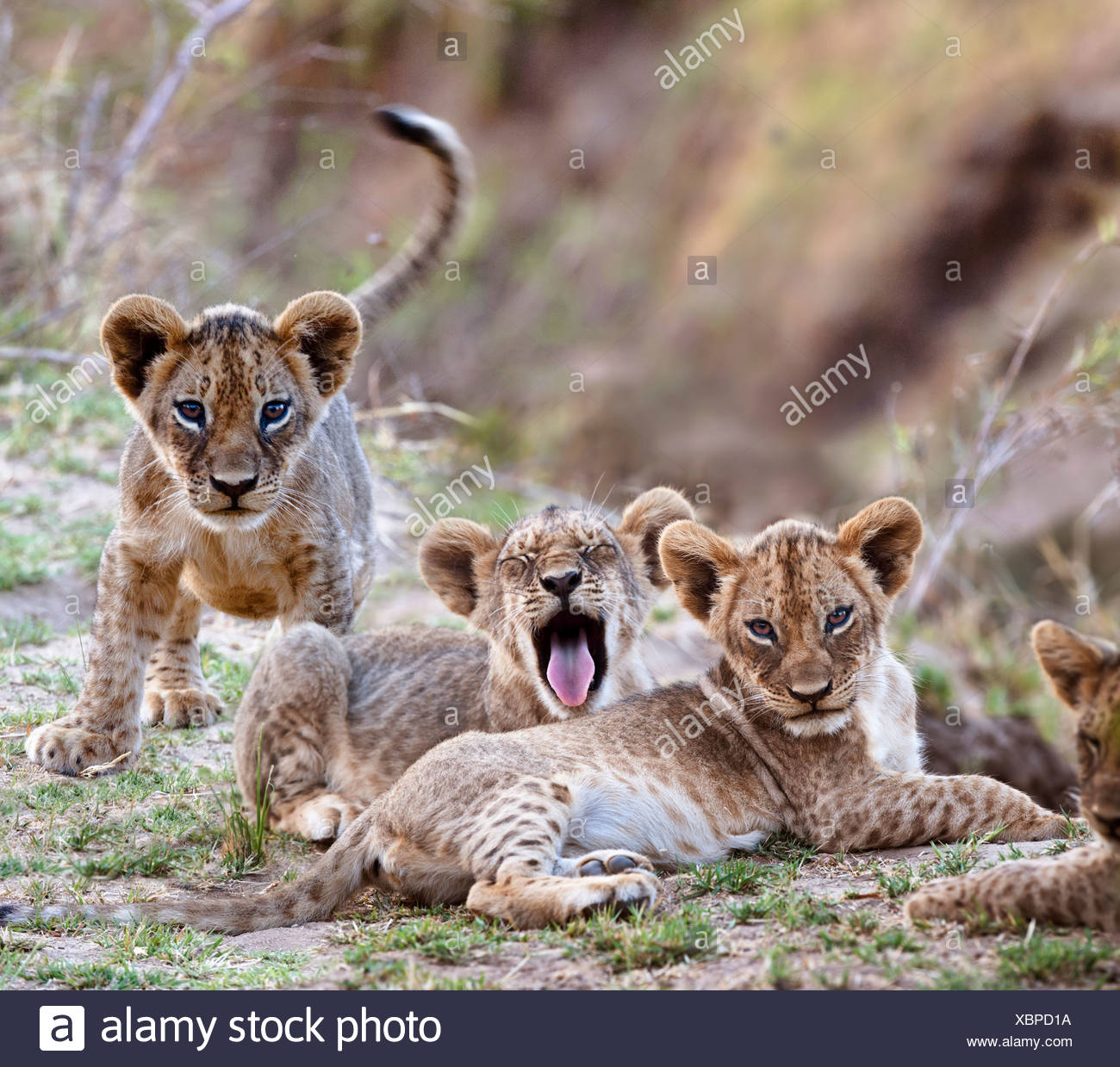 African Lion cubs  - approx 3 months old - near the Luangwa River. South Luangwa National Park, Zambia - Stock Image