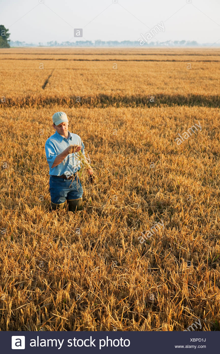 A farmer (grower) in his field inspects his nearly mature rice plant in order to determine when the harvest will begin /Arkansas - Stock Image