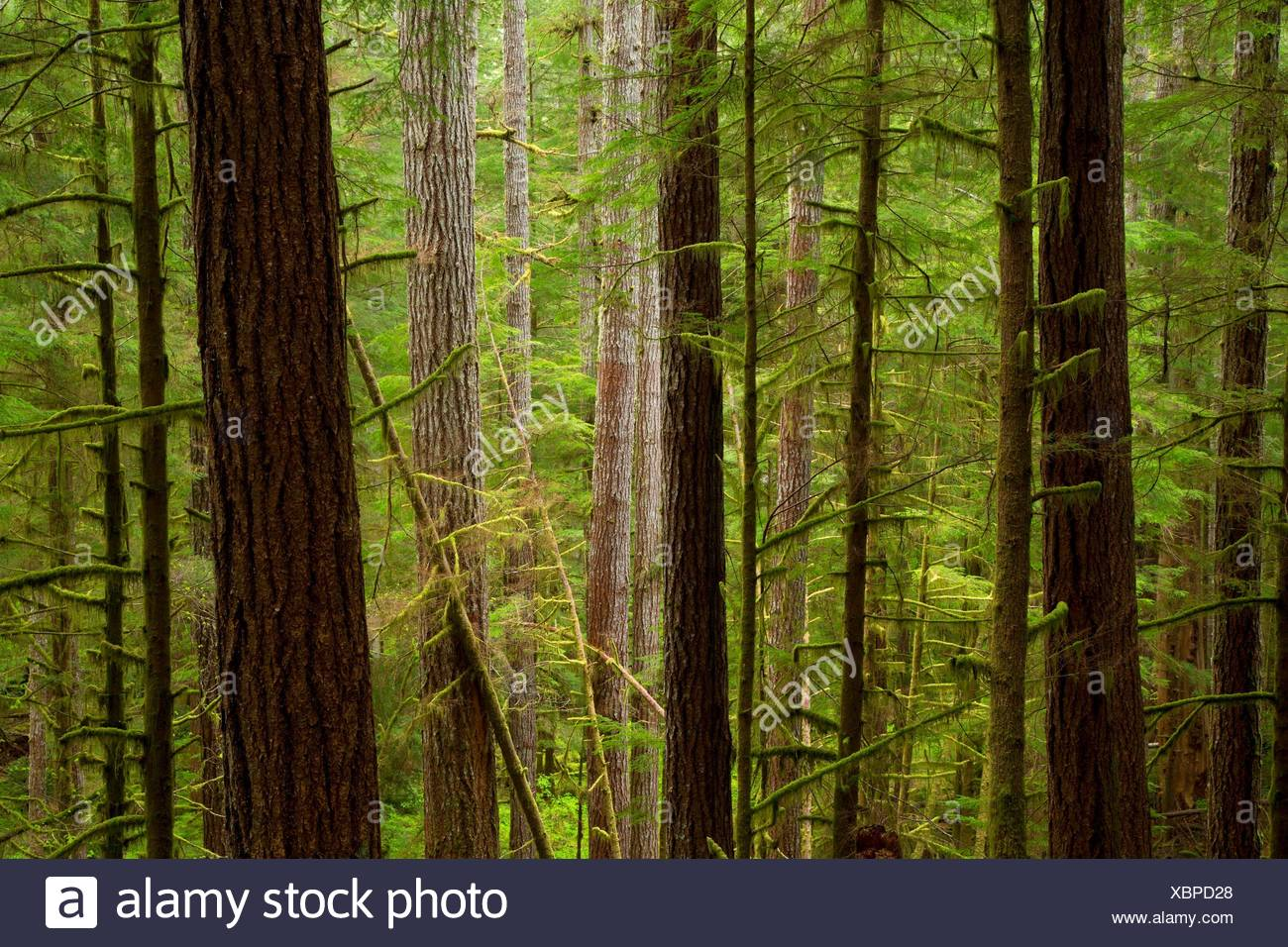 Ancient forest along Harris Ranch Trail, Drift Creek Wilderness, Siuslaw National Forest, Oregon. - Stock Image