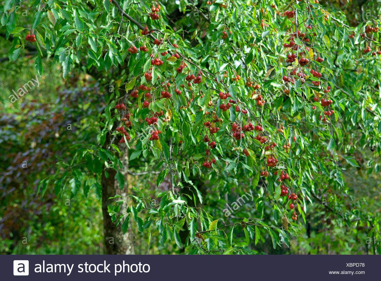 Cut-Leaved Crab (Malus toringoides), fruiting - Stock Image