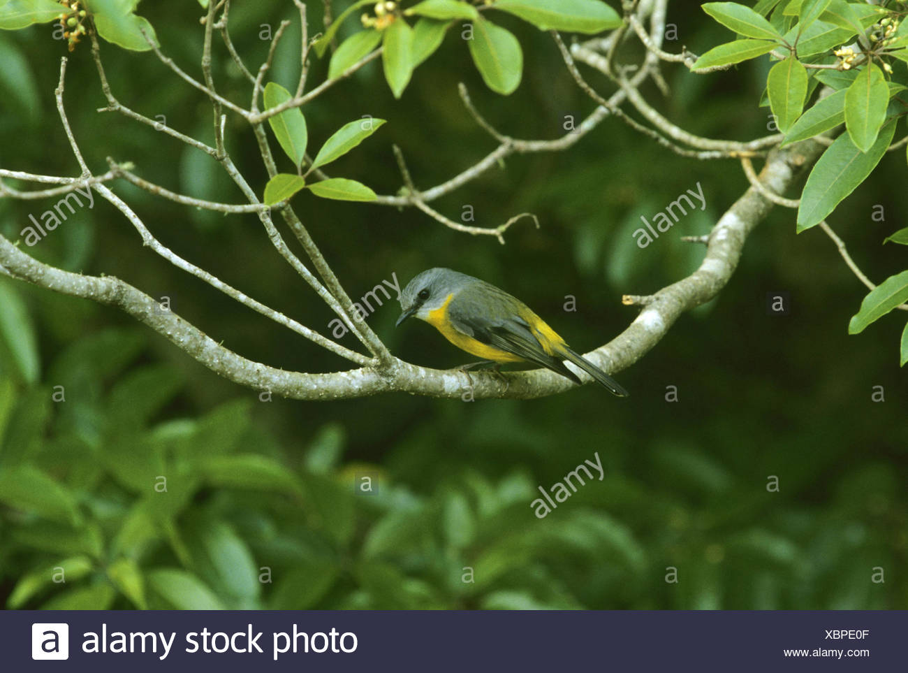 yellow robin (Eopsaltria australis), sitting on a branch - Stock Image