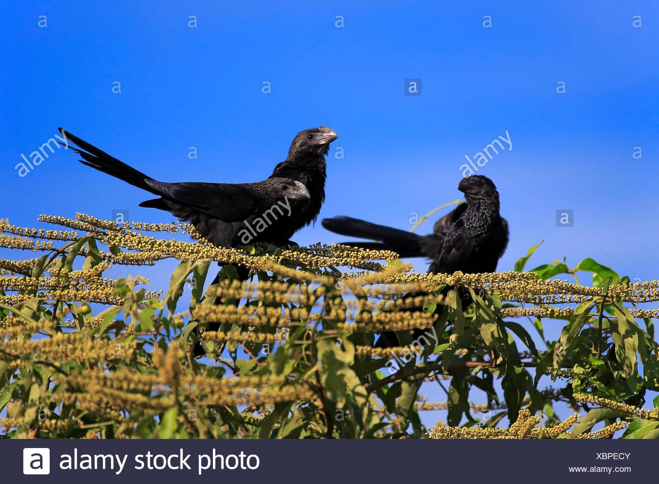 Smoothbilled Ani, Pantanal, Mato Grosso, Brazil, South America / (Crotophaga ani) - Stock Image