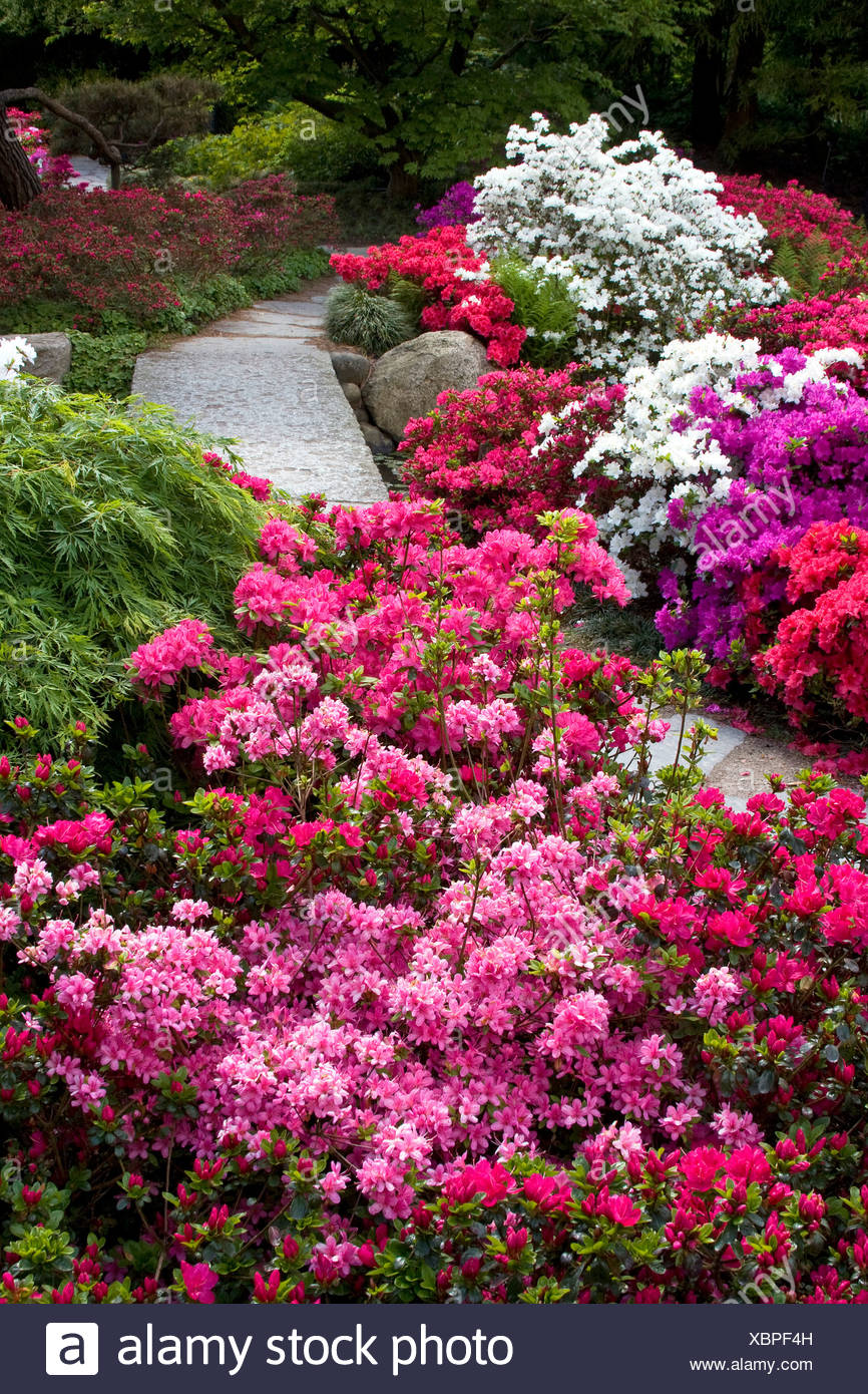 Rhododendrons And Azaleas Stock Photos & Rhododendrons And