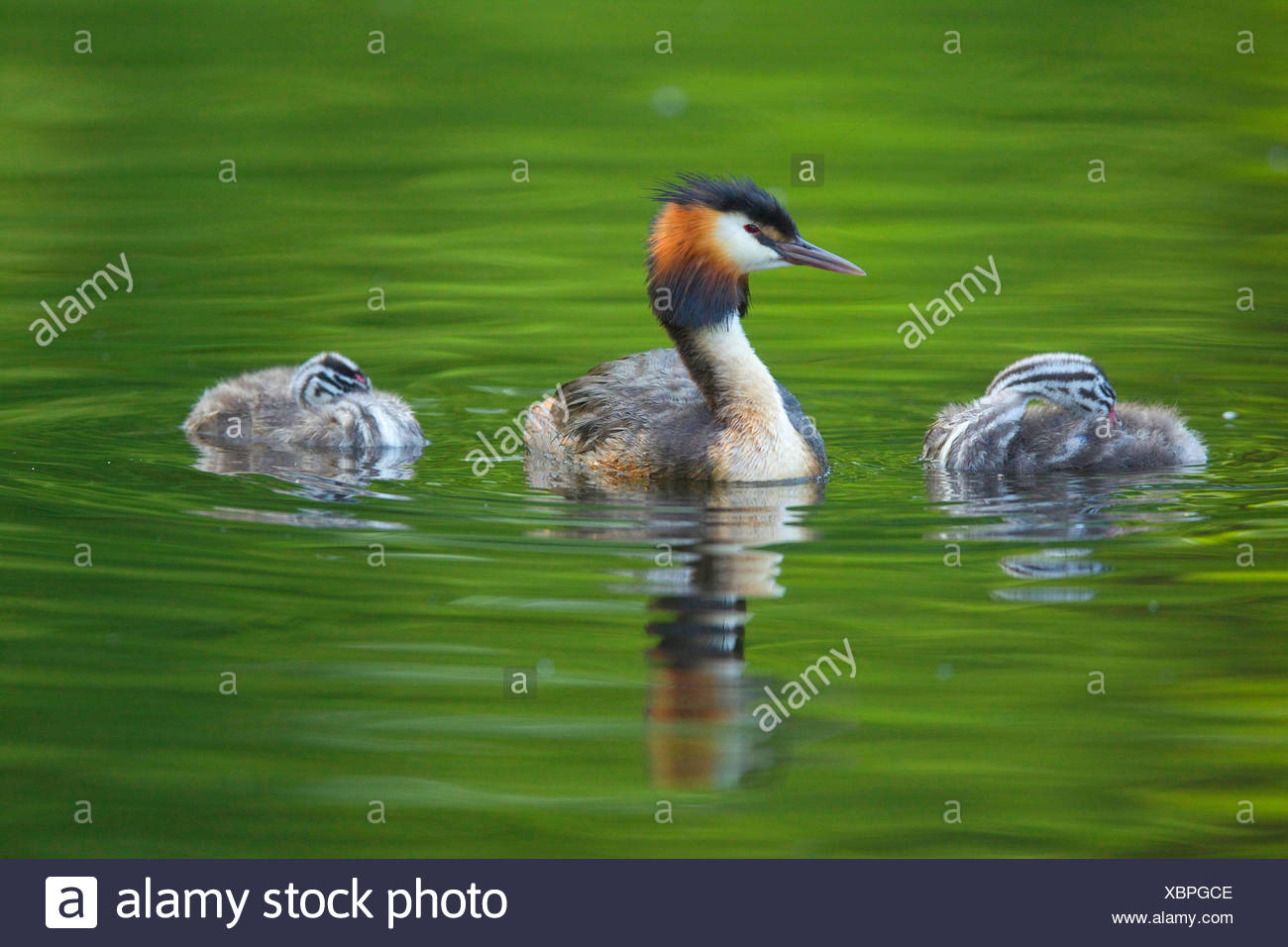 great crested grebe (Podiceps cristatus), adult bird with two young animals on the water, Germany - Stock Image